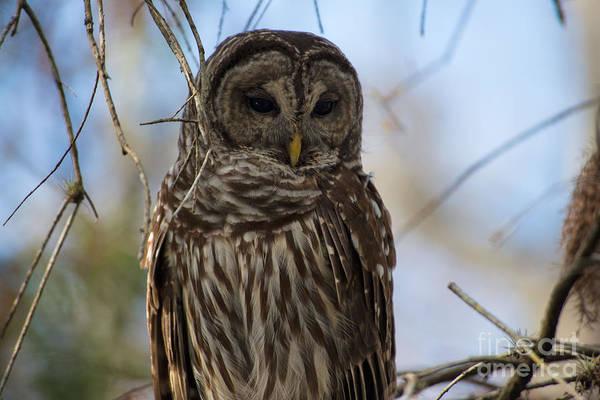 Bald Cypress Digital Art - Barred Owl by Carol Ailles