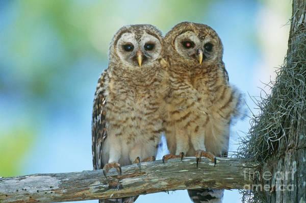 Photograph - Barred Owl Chicks by John Eastcott and Yva Momatiuk