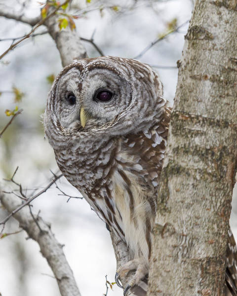 Photograph - Barred Owl by Jack R Perry