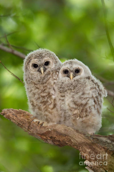 Photograph - Barred Owl Owlets by Jim Zipp