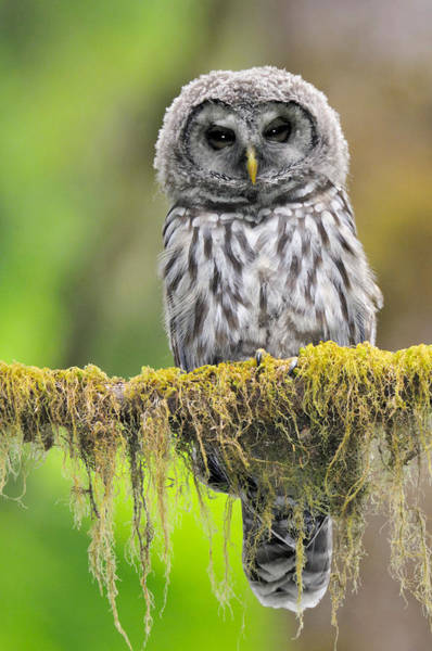 Wall Art - Photograph - Barred Owl Strix Varia Owlet by Thomas And Pat Leeson