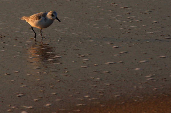 Photograph - Beach Wildlife by David Dufresne