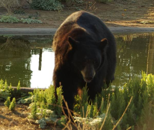 Photograph - Bear 1 by Phyllis Spoor