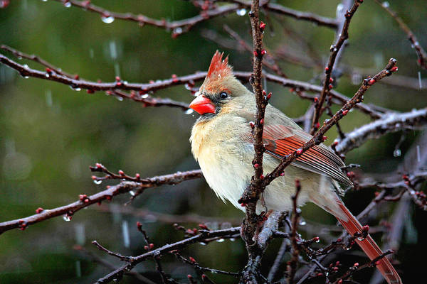 Photograph - Beautiful Cardinal by Trina  Ansel
