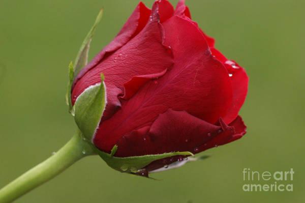 Feb Wall Art - Photograph - Beautiful Red by Carol Lynch