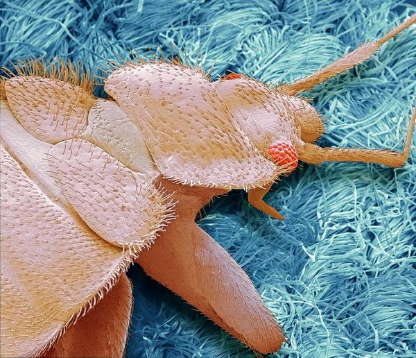 Wall Art - Photograph - Bedbug by Steve Gschmeissner/science Photo Library
