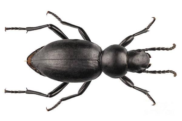 Tenebrionidae Wall Art - Photograph - beetle species Tentyria peiroleri  by Pablo Romero