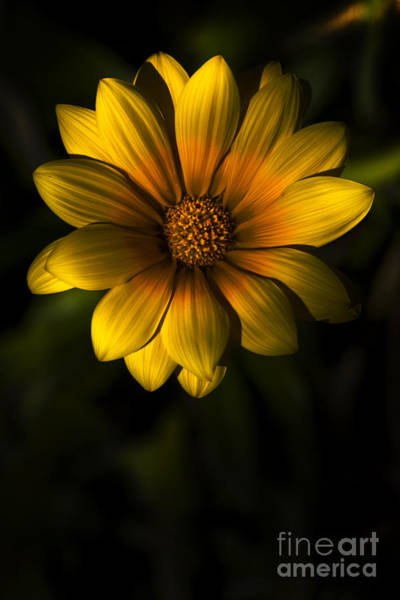 Gazania Photograph - Beginning Of Spring In Flower by Jorgo Photography - Wall Art Gallery