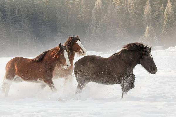 Belgian Photograph - Belgian Horse Roundup In Winter by Adam Jones