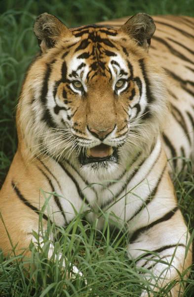 Photograph - Bengal Tiger Portrait by Gerry Ellis