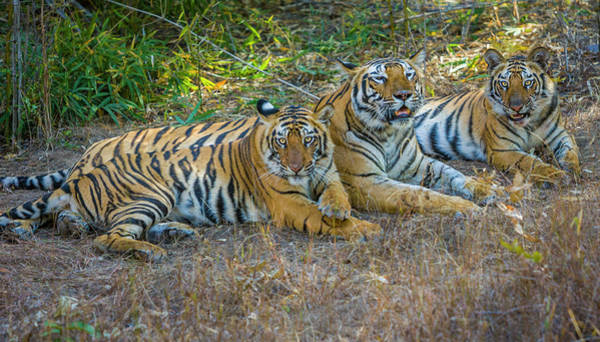 Wall Art - Photograph - Bengal Tigers, Bandhavgarh National by Art Wolfe