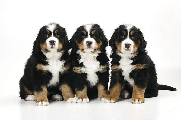 Photograph - Bernese Mountain Dog Puppies by John Daniels