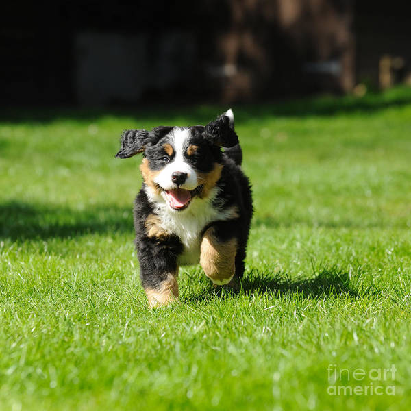 Photograph - Bernese Mountain Dog Puppy by John Daniels