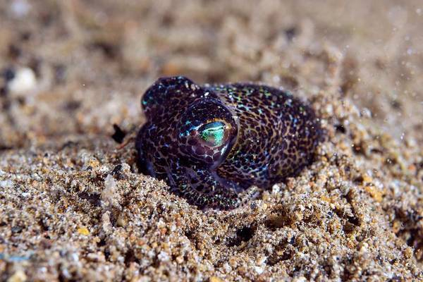 Squid Photograph - Berry's Bobtail Squid by Scubazoo/science Photo Library