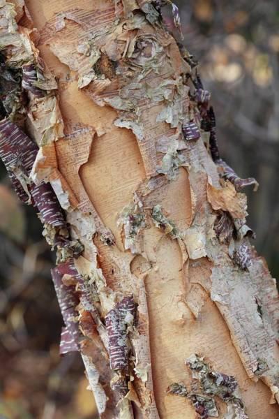 Birch River Photograph - Betula Nigra Bark by Geoff Kidd/science Photo Library