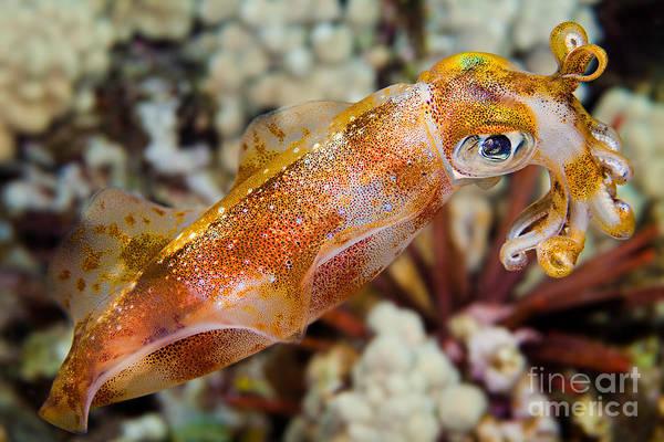 Bigfin Reef Squid Photograph - Bigfin Reef Squid by David Fleetham