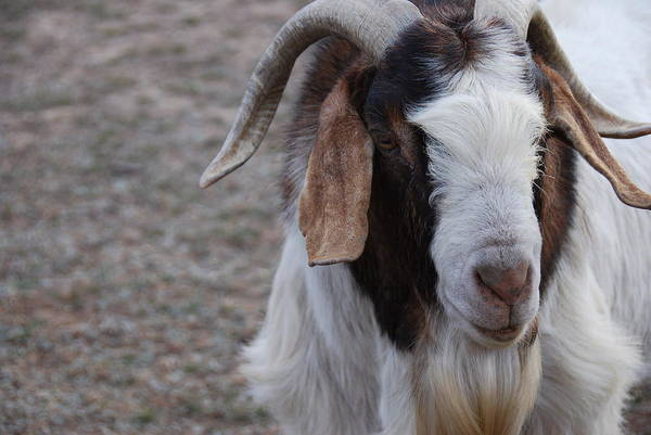 Wall Art - Photograph - Billy Goat by Thea Wolff