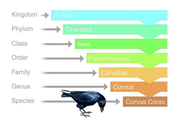 Corvidae Photograph - Biological Classification by Mikkel Juul Jensen
