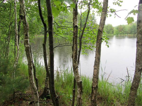Photograph - Birch Trees In Rain 1 by Anita Burgermeister