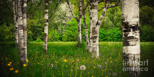 Photograph - Birches by Hannes Cmarits