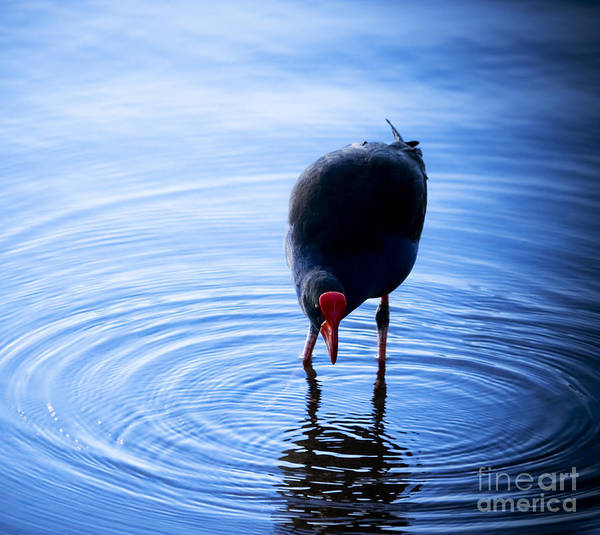 Photograph - Bird In Bright Blue Pond by Jorgo Photography - Wall Art Gallery