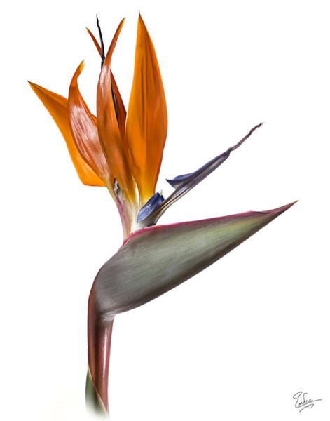 Photograph - Bird Of Paradise by Endre Balogh