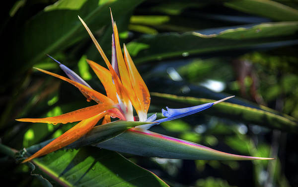 Photograph - Bird Of Paradise by Hans- Juergen Leschmann