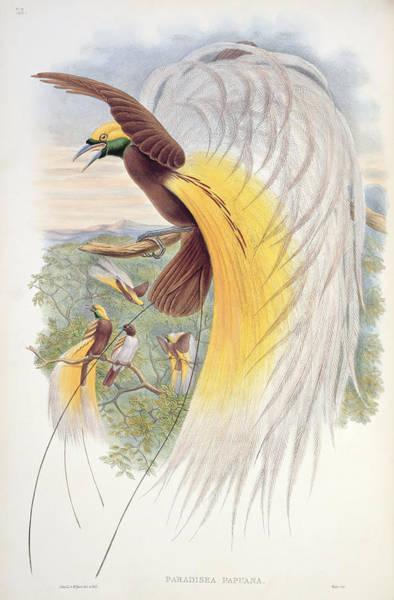 Wall Art - Painting - Bird Of Paradise by John Gould