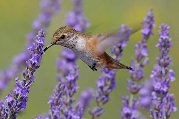 Selasphorus Photograph - Bird Of Summer by Christian Heeb