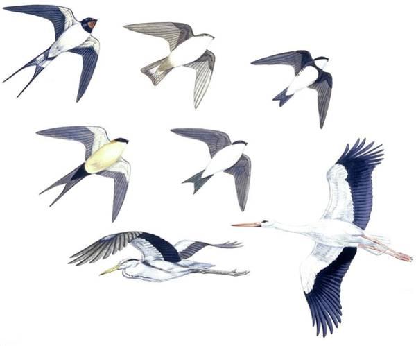 Barn Swallow Wall Art - Photograph - Birds by Deagostini/uig/science Photo Library