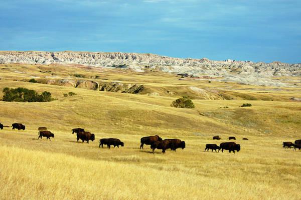 North Dakota Badlands Wall Art - Photograph - Bison by Mark Newman