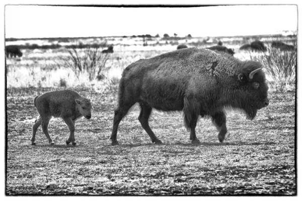 Photograph - Bison Mother And Calf by Melany Sarafis