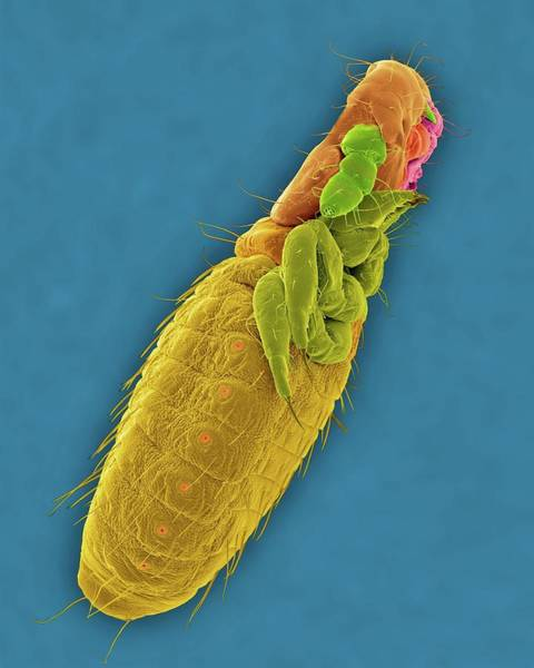 Chewing Wall Art - Photograph - Biting Louse by Dennis Kunkel Microscopy/science Photo Library