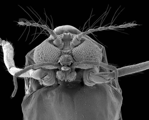 Midge Photograph - Biting Midge by Dennis Kunkel Microscopy/science Photo Library