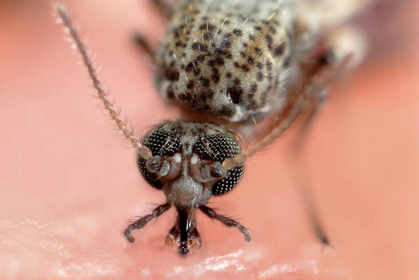 Midge Photograph - Biting Midge by Sinclair Stammers/science Photo Library
