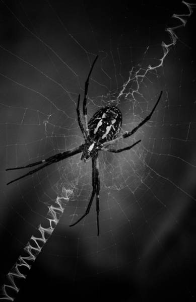 Photograph - Black And Yellow Argiope by Ben Shields