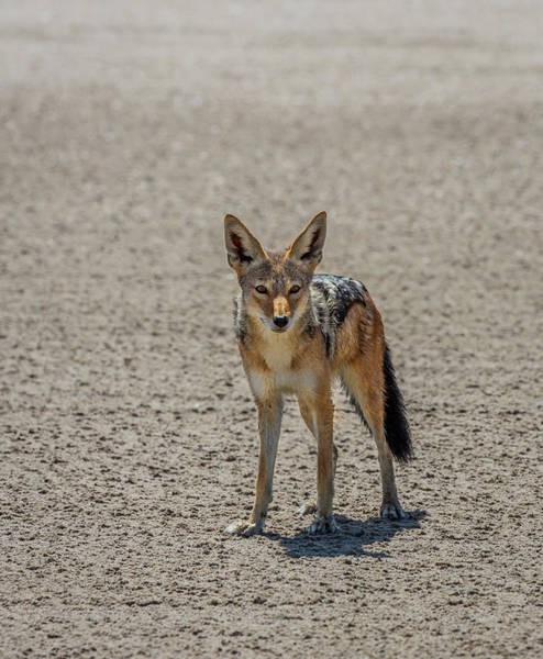 Wall Art - Photograph - Black-backed Jackal Canis Mesomelas by Animal Images