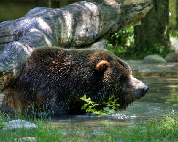 Photograph - Black Bear by Mary Almond