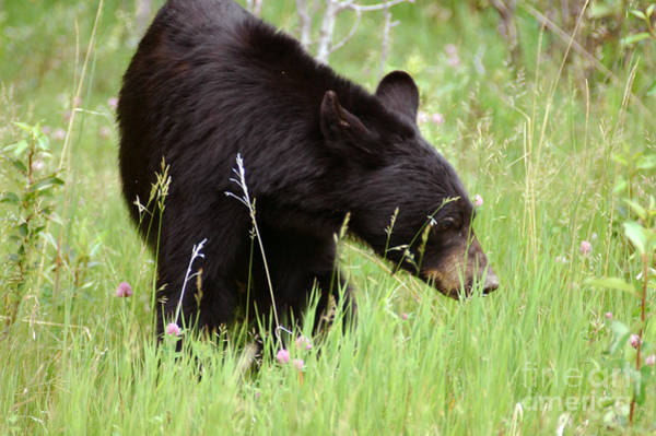 Photograph - 556p Black Bear by NightVisions