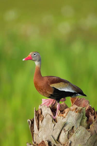 Cavity Wall Art - Photograph - Black-bellied Whistling Duck On Cabbage by Maresa Pryor