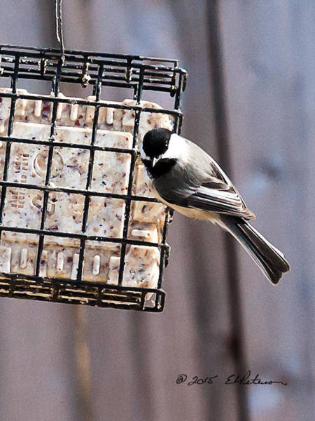 Photograph - Black-capped Chickadee  by Edward Peterson