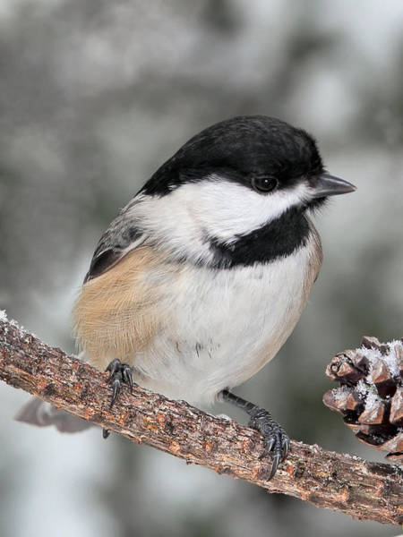 Photograph - Black Capped Chickadee by Theo
