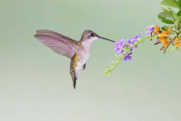 Hidalgo Photograph - Black-chinned Hummingbird (archilochus by Larry Ditto