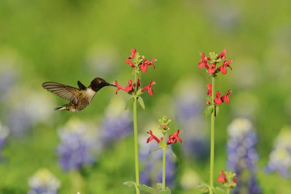 Texas Bluebonnet Photograph - Black-chinned Hummingbird (archilochus by Rolf Nussbaumer