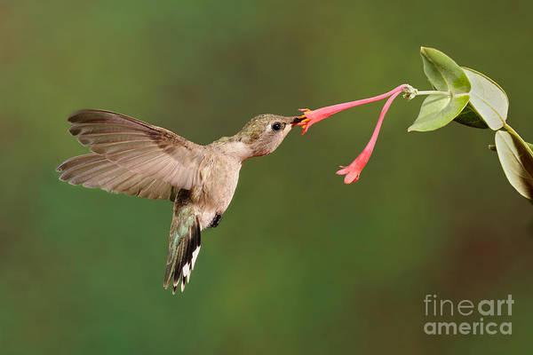 Photograph - Black-chinned Hummingbird by Scott Linstead