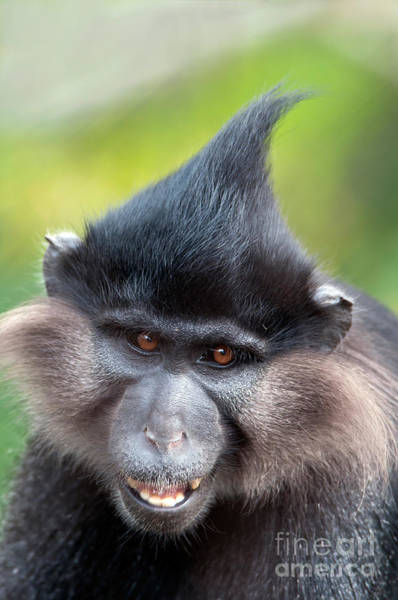 Photograph - Black Crested Mangabey by Mark Newman