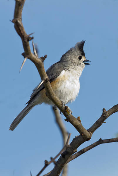Tweets Photograph - Black-crested Titmouse by Anthony Mercieca