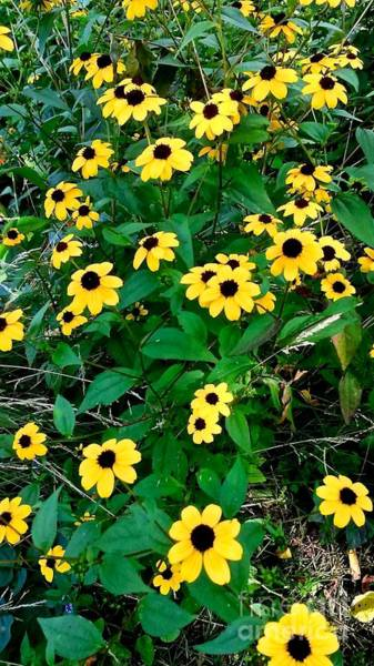 Photograph - Black Eyed Susan by William Norton