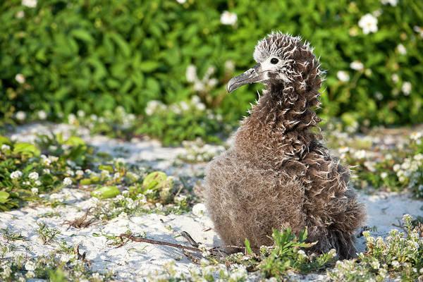 Sweet Bird Photograph - Black-footed Albatross / Phoebastria by Daisy Gilardini