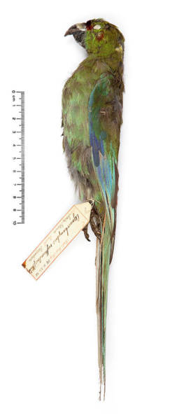 Stuffed Animal Photograph - Black-fronted Parakeet by Natural History Museum, London/science Photo Library